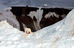Polar bear and ivory gull Stock Photography