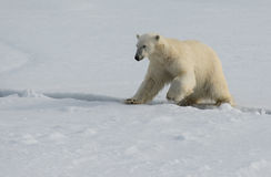Polar Bear jumping across a crack in the ice in the pack ice north of Spitsbergen stock images