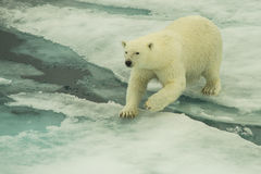 Polar bear jumping Royalty Free Stock Photo