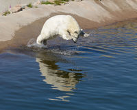 Polar bear jumps into water Stock Photography