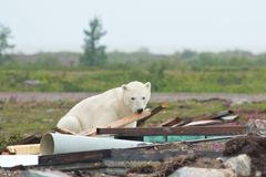 Polar Bear and Junk 2 Royalty Free Stock Photo