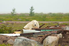 Polar Bear in the junkyard Stock Photo