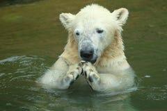 Polar bear juvenile stock photos