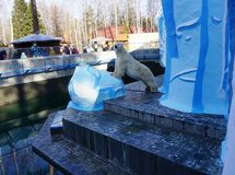 Polar bear Kai in the Novosibirsk zoo royalty free stock image