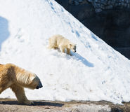 He polar bear with kid Royalty Free Stock Photography