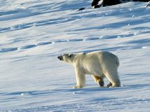 Polar bear, King of the Arctic Royalty Free Stock Images