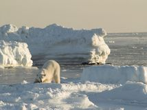 Polar bear, King of the Arctic royalty free stock photo