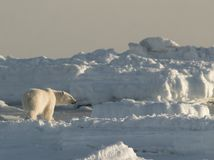 Polar bear, King of the Arctic Stock Photos