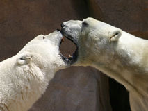 Polar Bear Kiss. Two Polar Bears kissing Stock Photo