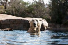 Polar bear known as Ursus maritimus Stock Photo