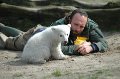 Polar bear Knut Stock Images