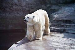 Polar bear royalty free stock images
