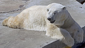 Polar bear 5 Royalty Free Stock Images