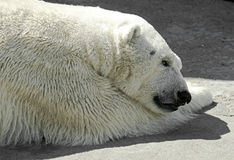 Polar bear 6 Stock Photography