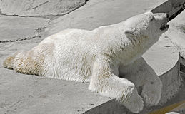 Polar bear 8 Stock Photography