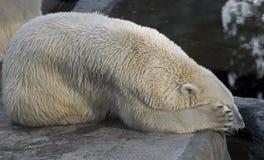 Polar bear 15 Stock Photos