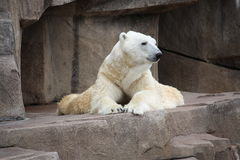 Polar bear laying down. Polar bear laying down on a big rock Stock Image