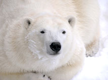 Polar bear laying down Royalty Free Stock Photos