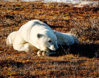 Polar bear lazing in the sun Stock Photo