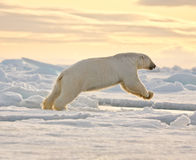 Polar Bear Leaping in the Snow Stock Photography