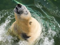 Polar bear leaping from the water stock photo