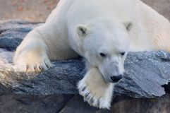 Polar bear on a ledge Stock Photo