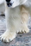 Polar bear legs Stock Photo