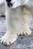 Polar bear legs. Closeup of white fury polar bear legs Stock Photo