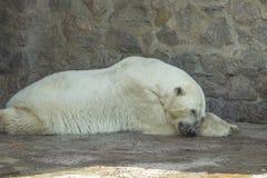 Polar bear. Lies fast asleep royalty free stock photo