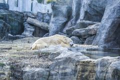 The polar bear lies has a rest among rocks in zoo. A photo in a haze, an indistinct picture because of aquarium glass. Predator royalty free stock photography