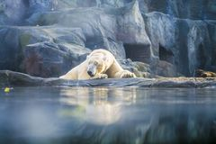 The polar bear lies has a rest among rocks in zoo. A photo in a haze, an indistinct picture because of aquarium glass. Predator stock photo