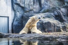 The polar bear lies has a rest among rocks in zoo. A photo in a haze, an indistinct picture because of aquarium glass. Predator stock images