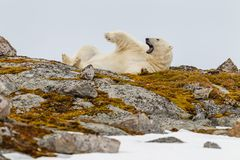 A polar bear lies on its back on a snowy stony hill overgrown with mosses and yawns. In archipelago Spitsbergen royalty free stock photo