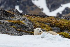Polar bear lies in the snow on the stony hill. A polar bear lies in the snow on the stony hill of the Spitsbergen archipelago royalty free stock images
