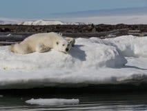 Polar bear lies on the snowy shore near the water. Shpitsbergen archipelago stock photos