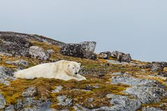 A polar bear lies on the stony snow-capped hill. Of the Spitsbergen archipelago stock photography