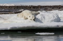 The polar bear lies and yawns on the snowy shore near the water. Shpitsbergen archipelago royalty free stock images