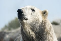 Polar bear lifting head Stock Photo
