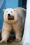 Polar bear with a loaf of bread Royalty Free Stock Photos