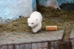 Polar bear with a loaf of bread. In the zoo Stock Images