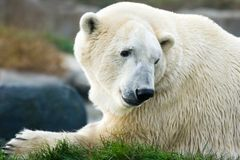 Polar bear looking backward Stock Image