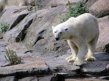 Polar bear looking. Close-up of polar Bear looking us at Berlin zoo stock photos