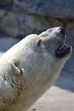 Polar Bear Looking Up Royalty Free Stock Photo