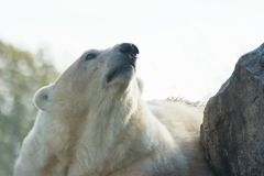Polar bear looking up Stock Images
