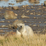 Polar Bear looking up from shore Stock Images