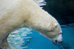 Polar bear looking in the water Royalty Free Stock Images