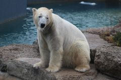 Polar bear that looks a bit sad conservation is essential for this species. As global warming intensifies Stock Photo
