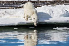 The polar bear looks at his reflection in the water. Standing on a snowy beach near the water.. shpitsbergen archipelago stock image