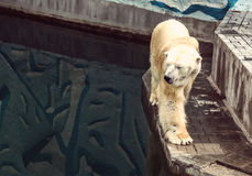 The polar bear looks at his reflection in the water Stock Photo