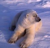 Polar bear in low Arctic sunlight. Large male polar bear lying on Arctic tundra Stock Photos